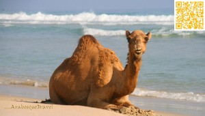Camel on the Beach in Oman